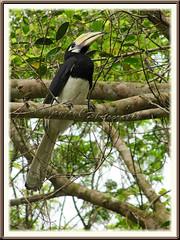 Oriental/Malaysian Pied Hornbill (Anthracoceros albirostris convexus)