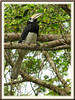 Anthracoceros albirostris convexus (Oriental Pied Hornbill, Enggang Lilin in Malay)