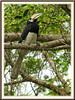 Anthracoceros albirostris convexus (Oriental Pied Hornbill, Enggang Lilin in Malay)