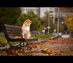 Falling Leaves - 44/52 (kaoni701) Tags: sf sanfrancisco city autumn red portrait orange dog cute fall leaves project puppy japanese nikon embarcadero nikkor suki shibainu shiba 70200 inu shibaken  vrii strobist d700 sb900 52weeksfordogs