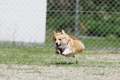 fat dog flies (komehachi888) Tags: dog corgi