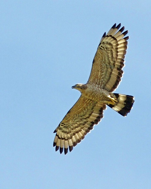 Oriental Honey-buzzard (Pernis ptilorhynchus)
