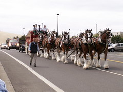 Here comes the King... (chjazz2) Tags: horses horse budweiser hitch equine clydesdale drafthorses equines