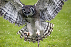 Pounce (Andrew Pescod) Tags: bird animal d50 raptor owl pounce coolest warwickcastle naturesfinest supershot avianexcellence