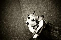 your eyes (moaan) Tags: leica bw dog film 50mm evening corgi dusk walk summilux m6 2007 leicam6 lookback forawalk instantfave explored pochiko leicasummilux50mmf14ii bokehwhores takeabackwardglance lookbackoverthepast gettyimagesjapanq1 gettyimagesjapanq2