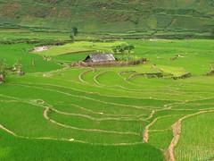Sapa, Vietnam (oneillci) Tags: green animal la buffalo rice terraces na vietnam chun lane mu sapa paddyfields hilltribes blackhmong laochaivillage
