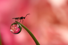 dewdrop refraction with braconid wasp #2 (Lord V) Tags: flower macro water bravo wasp dewdrop refraction braconid supershot bigwavesinmywildriver