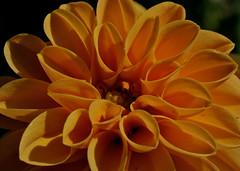 Orange Dahlia (martino.pizzol) Tags: dahlia flowers orange nature canon marco fiore arancio excellence 100mmmacro naturalmente naturesfinest 400d flowerwatcher