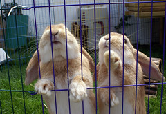 Boef and Uk (Sjaek) Tags: uk cute rabbit bunny garden outside furry adorable fluffy paws begging boef excapture