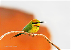 Rainbow Bee Eater (ozione) Tags: bird nature birds rainbow bee eater watche merops rainbowbeeeater meropsornatus animalkingdomelite abigfave