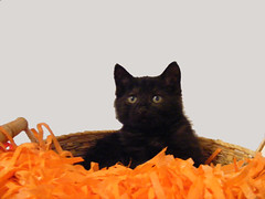 A Halloween Portrait (ScarletPeaches) Tags: cats cute halloween cat blackcat kitten feline kittens kitties felines tigre babyanimal kity