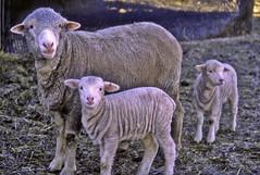 Merino ewe with twins