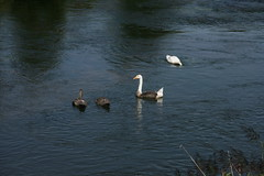 The Swoose and family (Son of Casterbridge) Tags: swan goose dorset hybrid swoose woolbridge