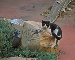 Cat Box (Mondmann) Tags: animal cat feline box egypt kitty cairo stray auc straycat americanuniversityincairo mondmann canonpowershots90