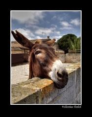 Is This My Best Angle? (Christian Frölich) Tags: españa island spain bravo searchthebest donkey burro mallorca isla majorca baleares balearic themoulinrouge blueribbonwinner supershot magicdonkey abigfave perfectangle anawesomeshot superaplus aplusphoto goldenphotographer diamondclassphotographer bratanesque thegoldendreams