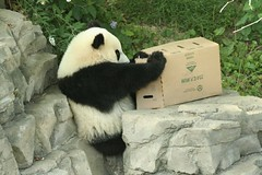 butterstuck (somesai) Tags: animal animals smithsonian panda endangered giantpanda pandas giantpandas