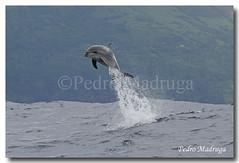 Tursiops Truncatus (PedroMadruga) Tags: ocean sea wild mammal dolphin wildlife azores aores cetaceo cetacean tonina openocean roaz toninha flickrsbest abigfave botlenosedolphin anawesomeshot superbmasterpiece pedromadruga southofpico toninhabrava suldopico