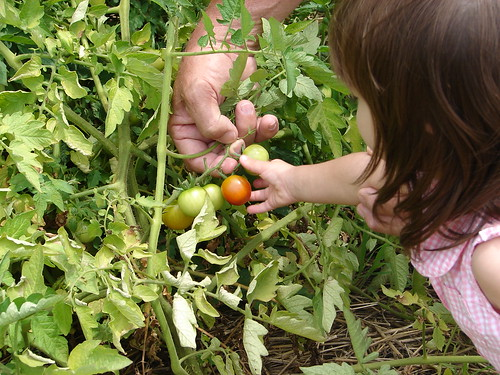 Harper Rose picks the first tomato.