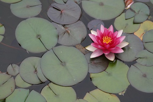 water lily by you.