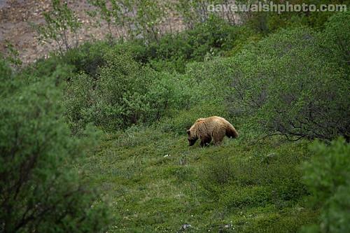Grizzly Bear, Denali National Park, Alaska