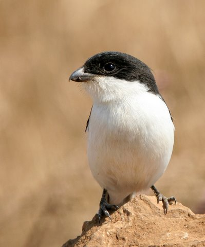 Helmeted Fiscal Shrike