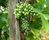 A Villányi-hegység aljában / At the Foot of the Villányi  Mountains (ssshiny) Tags: green fruit vineyard hungary agriculture grape grapevine magyarország bunchofgrapes wineproduction zöld gyümölcs szőlő mezőgazdaság szőlőföld bortermelés villányihegység szőlőfürt szőlőtőke