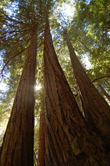 Coast redwoods at Muir Woods (Pat Ulrich) Tags: california trees forest d50 nikond50 muirwoods marincounty redwoods talltrees muirwoodsnationalmonument coastredwood sequoiasempervirens supershot naturesgallery wetlanddoc bestnaturetnc07 patulrich foreststnc09