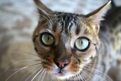 looking at me?? (Zanastardust) Tags: female cat mel bengal zanastardust