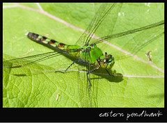 Eastern Pondhawk (Kadacat (Marlene)) Tags: green insect dragonfly easternpondhawk specanimal superhearts thechallengegame challengegamewinner