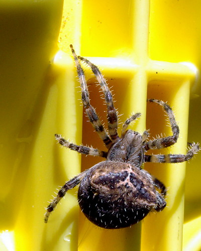 Spider on Yellow