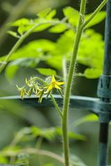 挿し芽の株の花