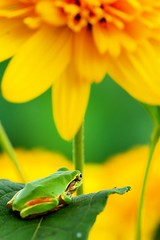 Late Summer Day (*Sakura*) Tags: summer flower macro green yellow japan frog explore sakura      sakura