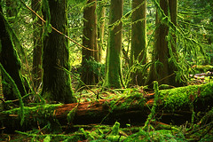 The Forest (justb) Tags: trees mountain tree green film forest hope moss bc hiking lookout trail velvia cedar fujifilm lush mossy cedars supershot