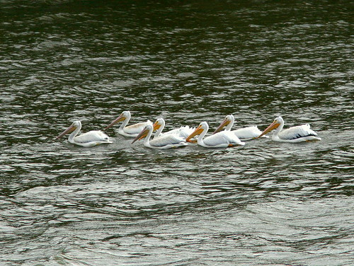 American White Pelicans 20101024