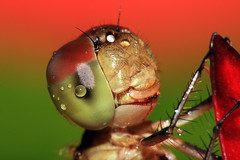 Dragonfly (AgniMax) Tags: red wallpaper portrait test india macro green nature water colors yellow horizontal closeup bug insect outdoors photography compound big eyes waterdrop colorful day dragon dragonfly head tubes fulllength nopeople kerala drop getty extension cochin animalia arthropoda macroshot odonata 200mm extrememacro insecta anisoptera greenbackground oneanimal compoundeyes canonef70200f4l natureview coloredbackground raynoxdcr250 animalthemes ommatidia epiprocta kenkoet waterdroponeye 200mmtestshot
