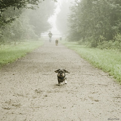 free (range) (moggierocket) Tags: wood dog pet mist nature happy path small free running dachshund tiny towards enthusiastic offleash floppyears 500x500 thelittledoglaughed winner500 dogoutlet