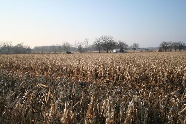 Harvesting Corn, December 2009
