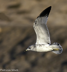 Ring-billed Gull (Larus delawarensis) (Patricia Ware) Tags: bif bolsachica birdinflight mywinners ringbilledgulllarusdelawarensis canon40d 300mmlenswith14teleconverter