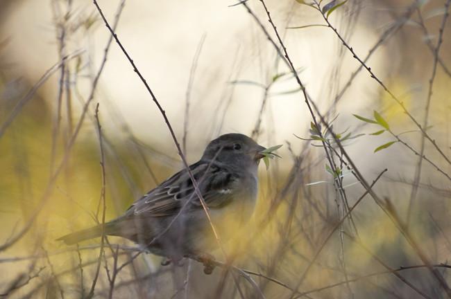 gråfågel samlar till sitt bo