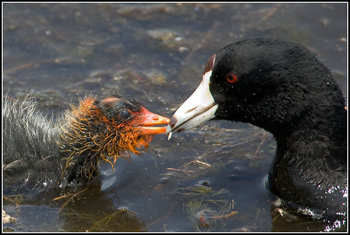 American Coot Feeding Chick