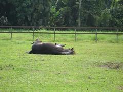 Haras 49 013 (mariarenatafranca) Tags: cavalos felizes
