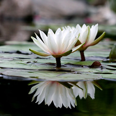 Sunshine on a cloudy day (wendymerle) Tags: reflection water waterlily waterlilies brook nymphaea hardy excellence wbg nymphaeaceae  blueribbonwinner