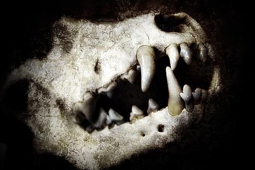 Wolfshead -- abruzzo italy wolf skull cranio lupo denti fangs wolfshead