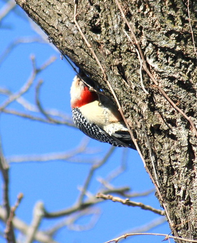Red-Bellied Woodpecker 06