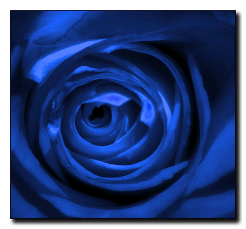 Blue Roses | Flickr - Photo Sharing!