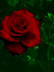 Entre las flores de un jardín bello nació una rosa... (JMAB) Tags: red flower verde green water rose photoshop agua flor rosa drop gota roja naturesfinest calledelasflores flowerotica tahivilla ltytr2 ltytr1 jmab
