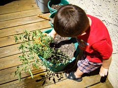 watering the volunteer tomato plant