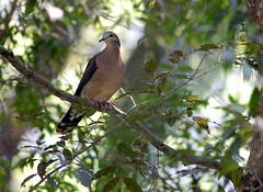 JURITI (Dario Sanches) Tags: parque bird nature animal brasil natureza ave marx pajaro paulo sao passaro burle juriti dariosanches dariosan