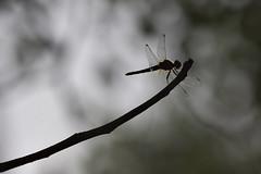 Lone Dragon (dr ama) Tags: deleteme5 deleteme8 deleteme deleteme2 deleteme3 deleteme4 deleteme6 deleteme9 deleteme7 deleteme10 drama