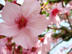 "a Sakura to a ""Sakura"" (Camila Kotori) Tags: pink flower macro nature de cherry close blossom flor rosa sakura watcher cerejeira"